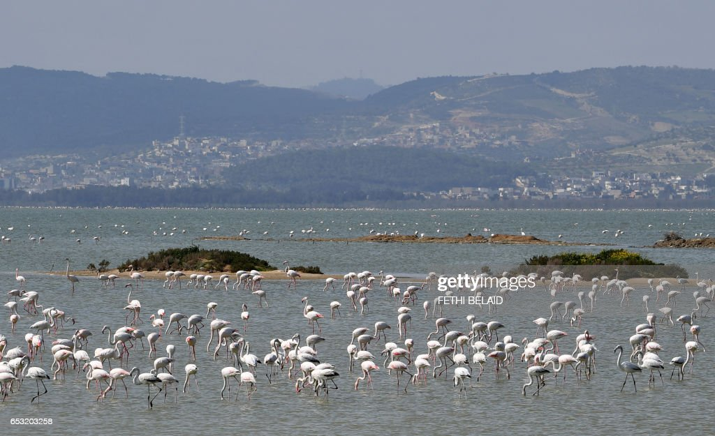 Pink flamingos are seen in a lake on March 14, 2017 in Gammarth on the outskirts of Tunis. /