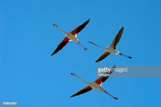 Rosa Flamencos (Phoenicopterus roseus) flying