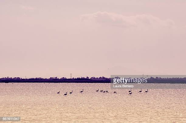 Pink flamingos in Santa Pola's saltworks