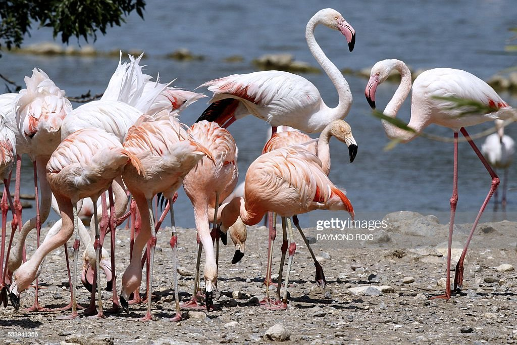 Pink flamingos stand on the shores of a lake in the grounds of the African Reserve (Réserve Africaine ) wildlife park in Sigean, southern France on May 24, 2016. / AFP / RAYMOND