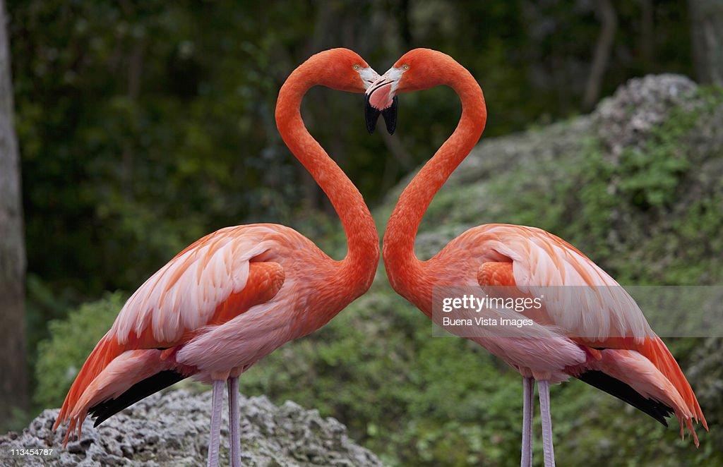 Pink flamingos with heart shaped necks : Stock Photo