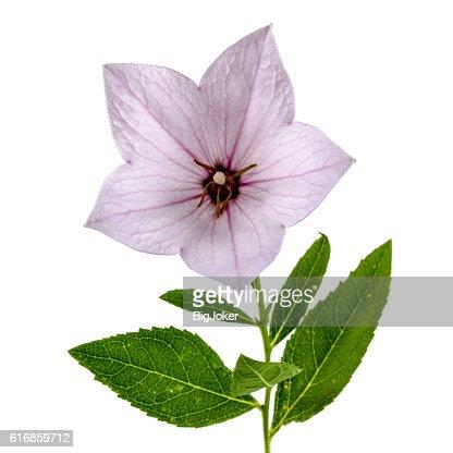 Pink flower of Platycodon (Platycodon grandiflorus) or bellflowe : Stock Photo