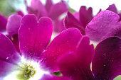 Pink flower petals macro photography and close up shot