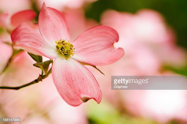 Pink flowering dogwood blossoms