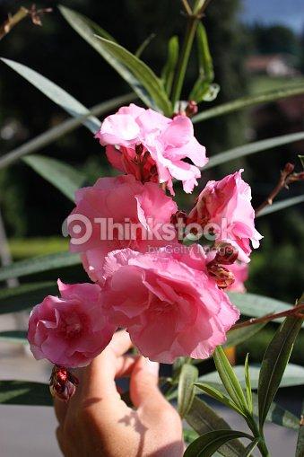 pink flowering nerium oleander splendens giganteum at the balcony