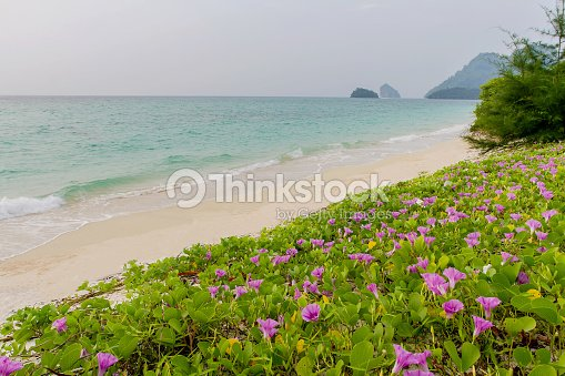 Pink flowers and beach in the morning sunri stock photo thinkstock pink flowers ipomoea pes caprae and beach in the morning sunri stock mightylinksfo
