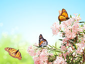 Pink flowers and monarch butterflies (Danaus plexippus, Nymphalidae). On blue sky background. Mock up template. Copy space for your text