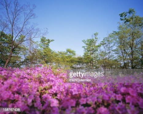 Pink flowers and trees with green spring foliage : Foto stock
