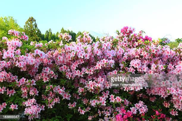 Pink flowers in Aso, Kumamoto Prefecture