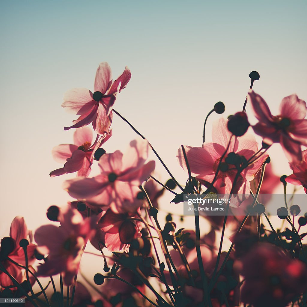 Pink flowers in back light : Stock Photo
