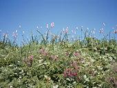 Pink flowers in the field, Rebun island, Hokkaido prefecture, Japan