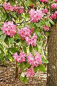 Pink flowers of a rhododendron in full bloom