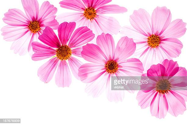Pink flowers on a bright white background