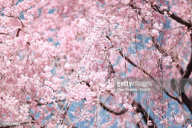 Pink Flowers On Cherry Tree