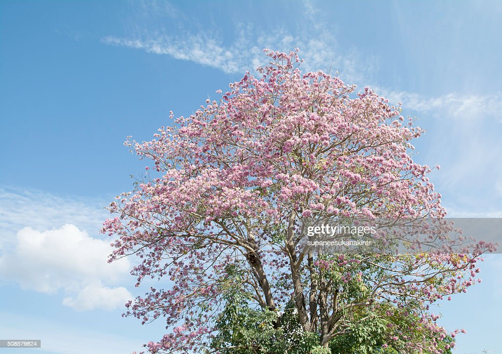 Pink flowers on the branches and sky . : Stock Photo