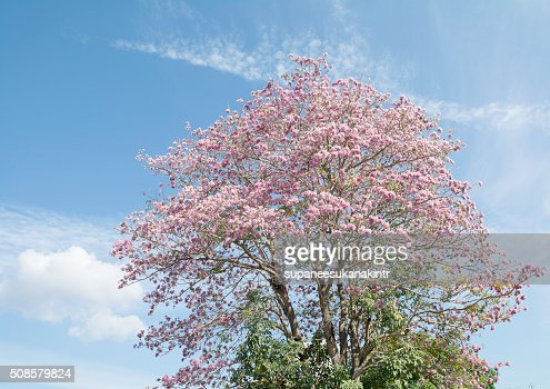 Pink flowers on the branches and sky . : Stockfoto