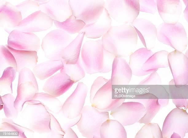 Pink flower's petals