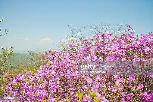 Fleurs Rose Rhododendron Et Ciel Bleu Paysage De Printemps