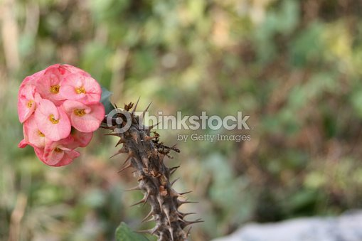 Pink flowers with thorny stem crown of thorns stock photo thinkstock pink flowers with thorny stem crown of thorns stock photo mightylinksfo