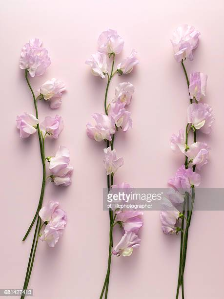 Pink fower (sweet pea) sitting on a pink surface