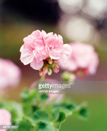 Pink geranium flower, close-up