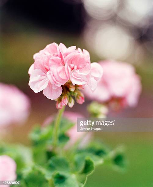 Pink geranium flower, close-up