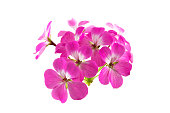 pink geranium flower isolated on white background