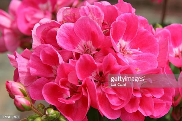 Rose géranium