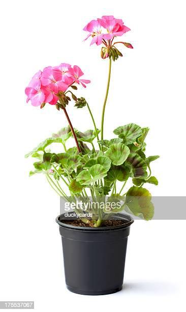 Pink Geranium Potted Plant