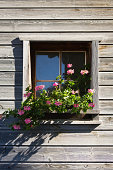 Pink geraniums in a window box of a wooden house in vals