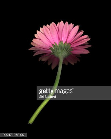 Pink Gerber Daisy : Stock Photo