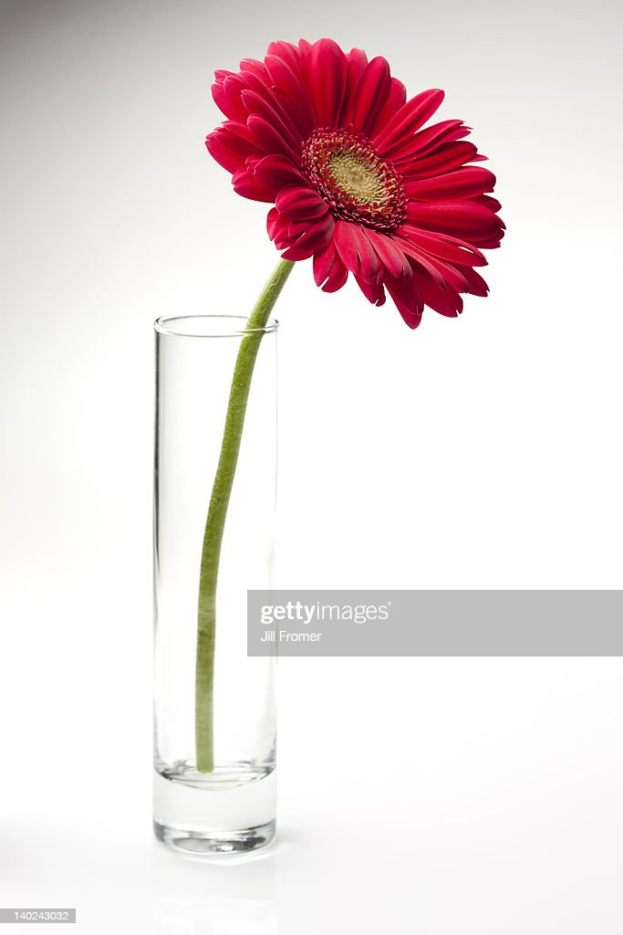 pink gerbera daisy in a glass vase stock foto getty images. Black Bedroom Furniture Sets. Home Design Ideas