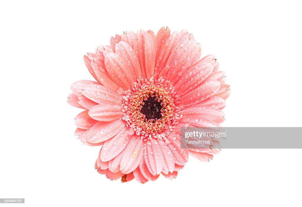 Pink gerbera daisy isolated on white background : Bildbanksbilder