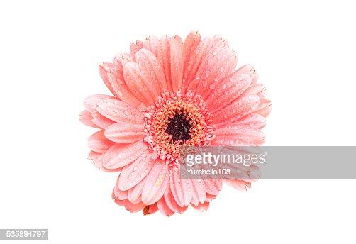 Pink gerbera daisy isolated on white background : Stockfoto