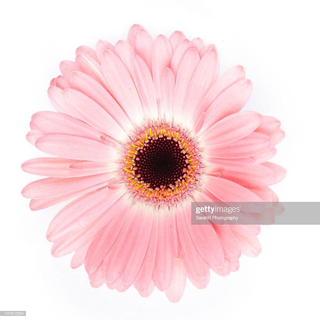 Pink gerbera flower : Stock Photo