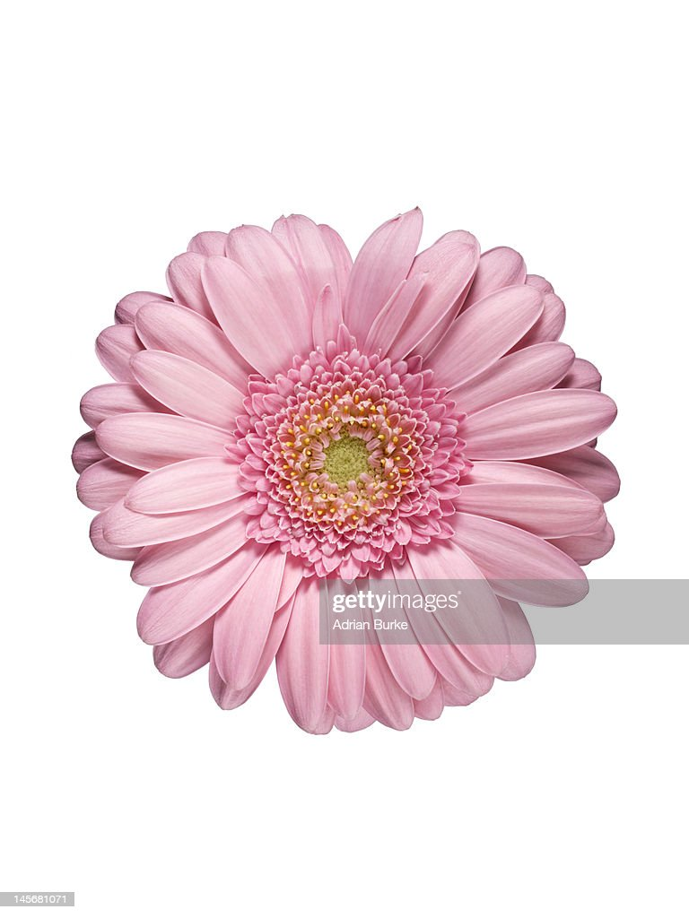 Pink Gerbera : Stock Photo