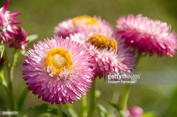 Pink gold strawflower