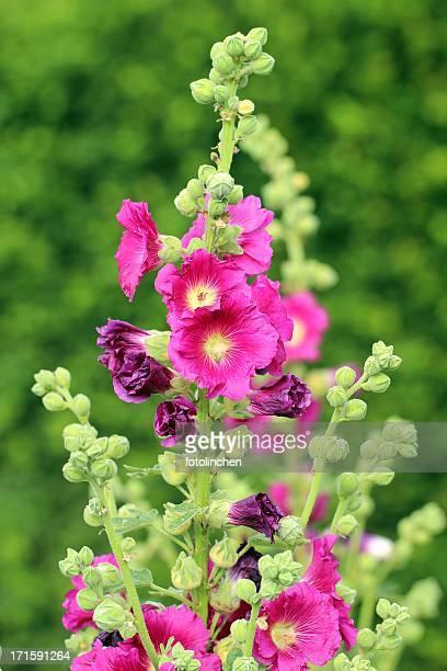 Rosa Gerbera Blumen