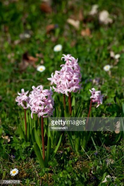 Pink hyacinths in a garden