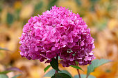 Pink Hydrangea in shape of bouquet in the garden at the Minnesota Landscape Arboretum in Autumn