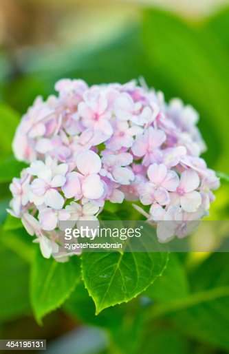 Pink hydrangea in the park. : Stock Photo
