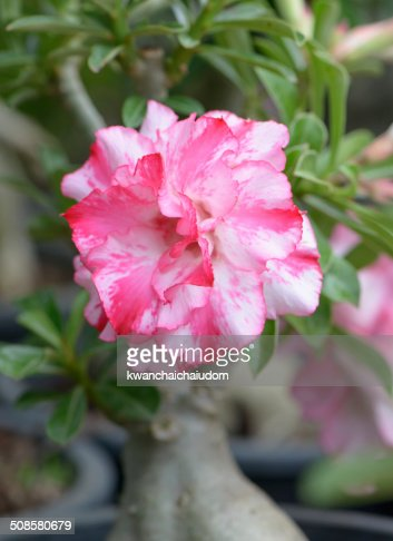 pink Impala Lily flower : Stock Photo