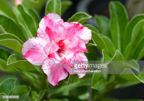 pink Impala Lily flower : Stockfoto