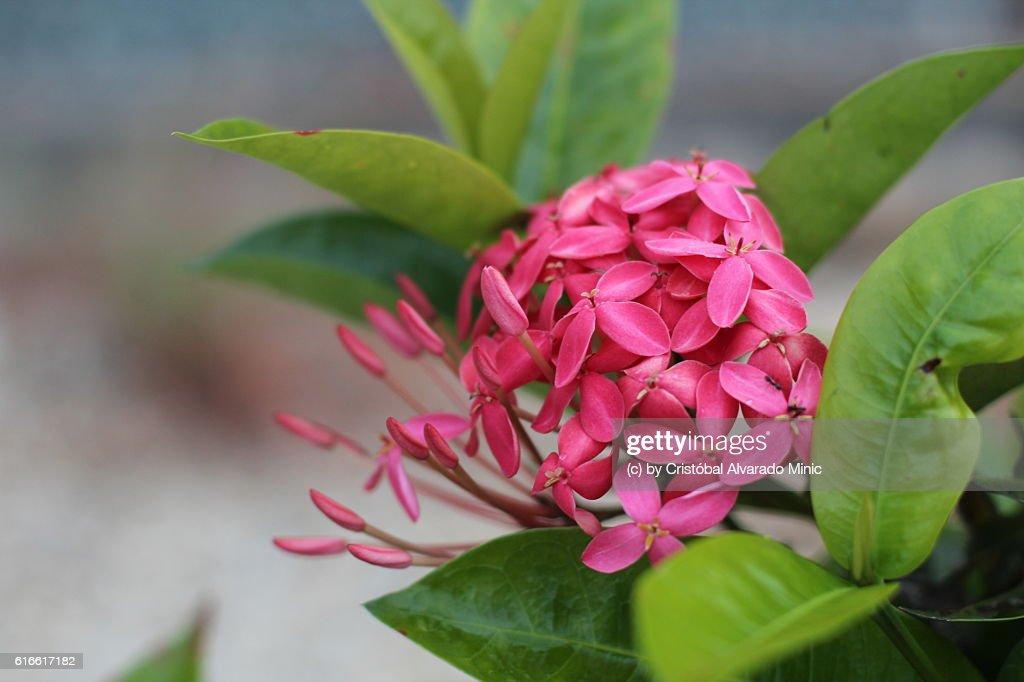 Pink Ixora flowers : Stock Photo