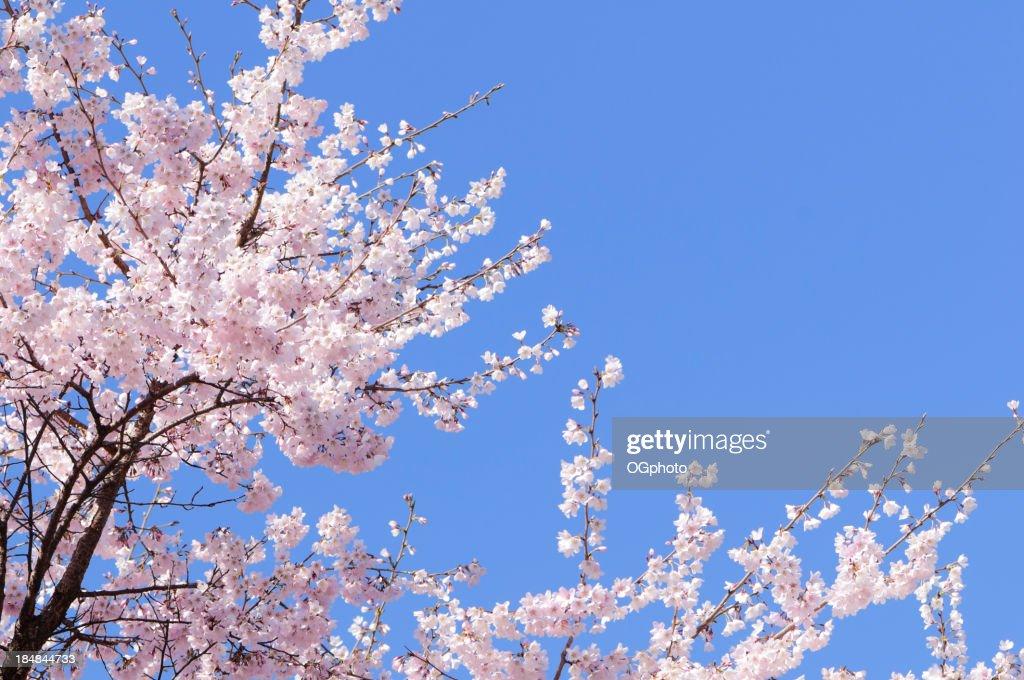 rosa japanische kirsche baum mit bl ten im fr hling stock foto getty images. Black Bedroom Furniture Sets. Home Design Ideas