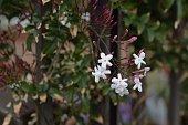 Pink jasmine / Jasminum polyanthum