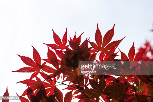 Pink leaves of the Japanese maple (Acer palmatum) : Stock Photo
