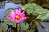 Pink lotus blossom reveals yellow pollen with natural green leaves in the background,Beautiful aquatic plant