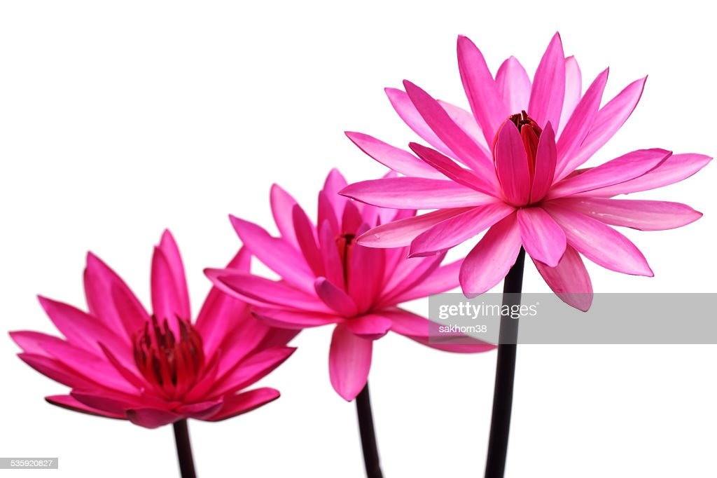 pink lotus flower isolated on white background. : Stock Photo