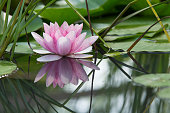 Pink lotus flower waterlily mirrored in the water of a pond